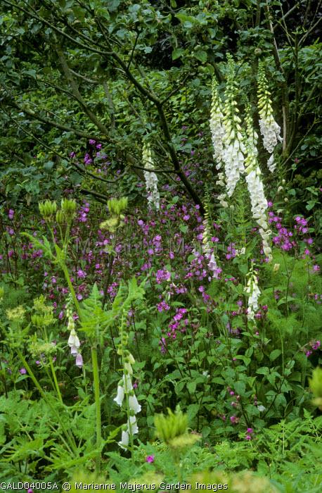 Digitalis purpurea f. albiflora, fennel, Myrrhis odorata and Silene dioica under apple tree, hedge