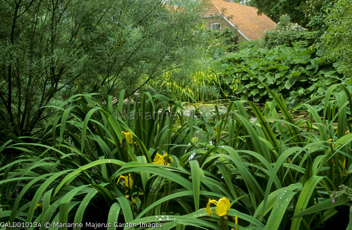 Iris pseudacorus and salix by pond