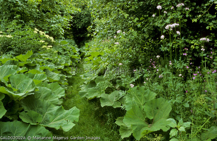Grass path between Ligularia dentata leaves, Valeriana officinalis