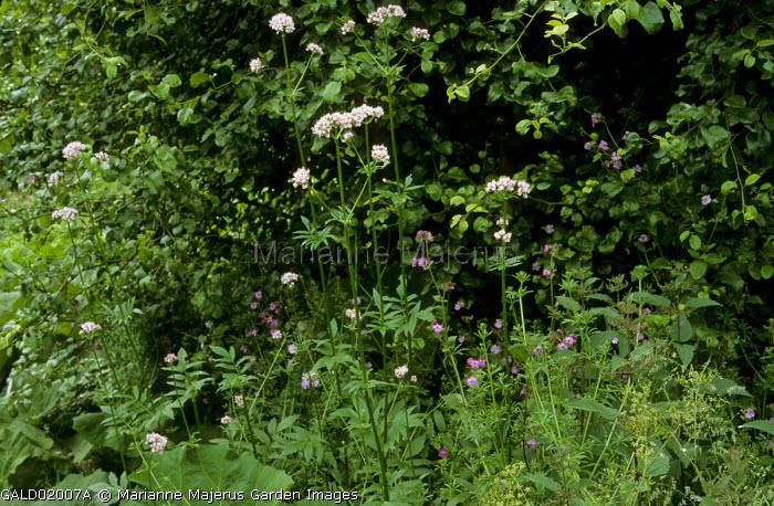 Valeriana officinalis, geraniums