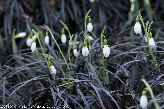 Ophiopogon planiscapus 'Nigrescens', Galanthus elwesii Edward Whittall Group