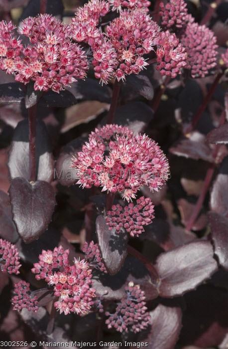 Hylotelephium 'Purple Emperor' syn. sedum