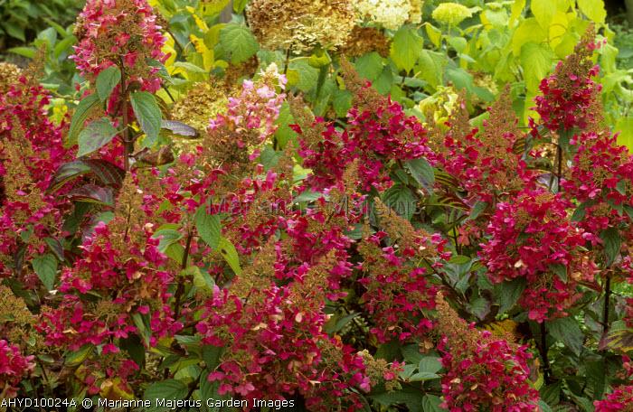 Hydrangea paniculata 'Pinky Winky', syn. 'Dvppinky'