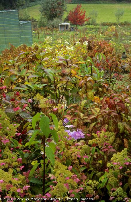Hydrangea nursery