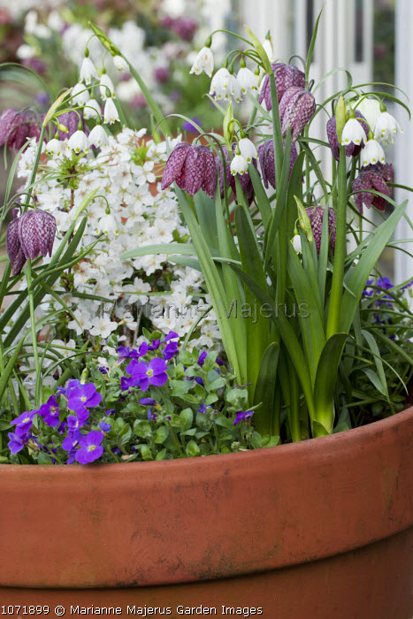 Leucojum aestivum, Fritillaria meleagris, aubretia, cherry blossom in terracotta container