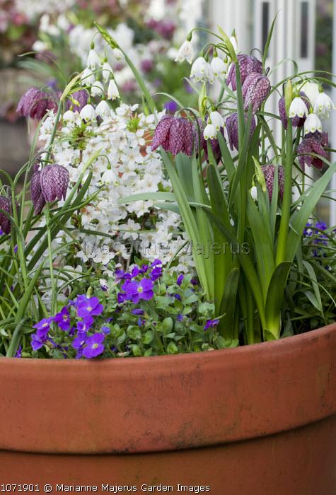 Leucojum aestivum, Fritillaria meleagris and aubretia in terracotta container