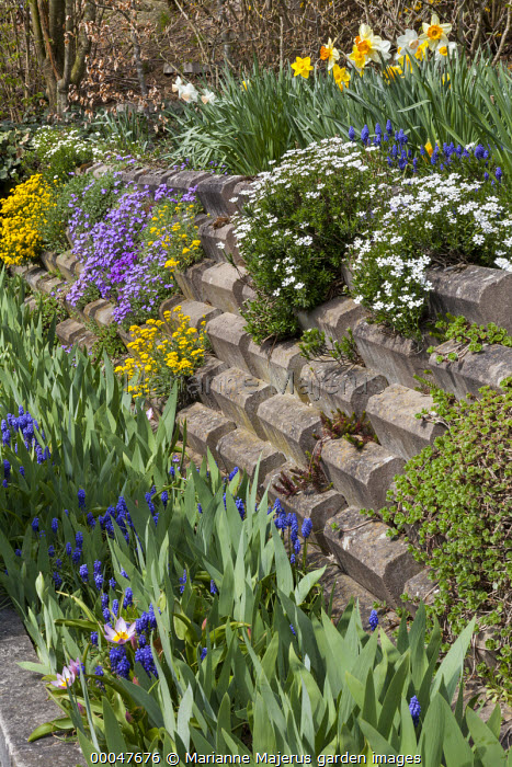 Front garden wall, daffodils, aubretia, iris