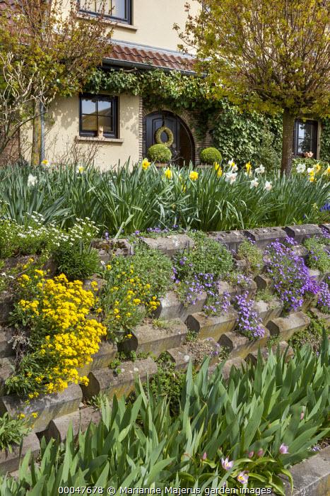 Front garden wall, daffodils, aubretia
