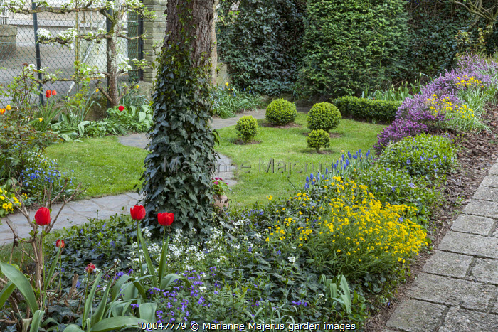 Small town garden in Spring, box topiary, border with alyssum, aubretia and heathers