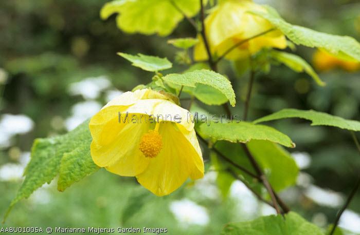 Abutilon 'Canary Bird', syn. Abutilon 'Golden Fleece'