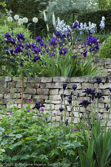 Terraced garden with Iris 'Before the Storm', 'After Dark' and 'Blue Reflection', Allium stipitatum 'White Giant', Eremurus himalaicus, Pyrus salicifolia 'Pendula', dry-stone walls