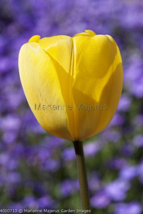 Tulipa 'Golden Apeldoorn' and Aubretia