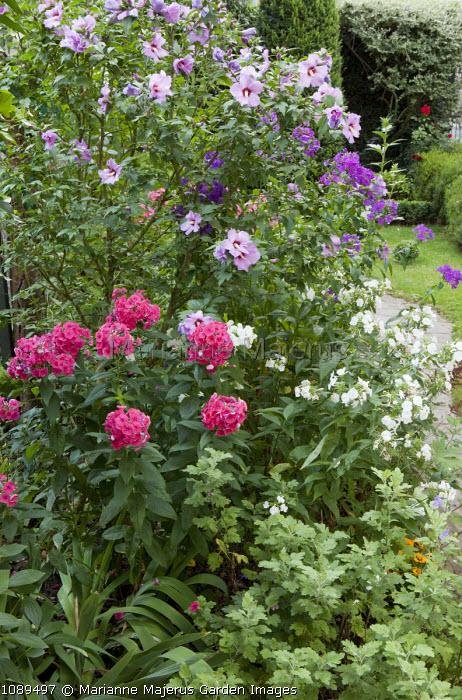 Hibiscus syriacus 'Mauve Queen', Phlox paniculata