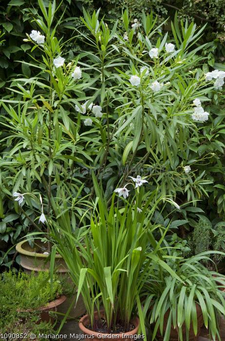 Nerium oleander 'Album', Gladiolus callianthus, syn. Acidanthera bicolor var. murielae in containers