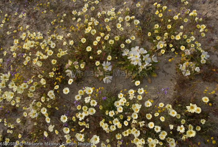 Spring flowers at Shell Creek, White Tidy-tips, Dune Evening Primrose and Gilias, San Luis Obispo, Southern California