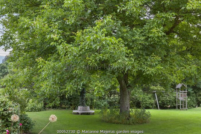 Walnut tree, seat