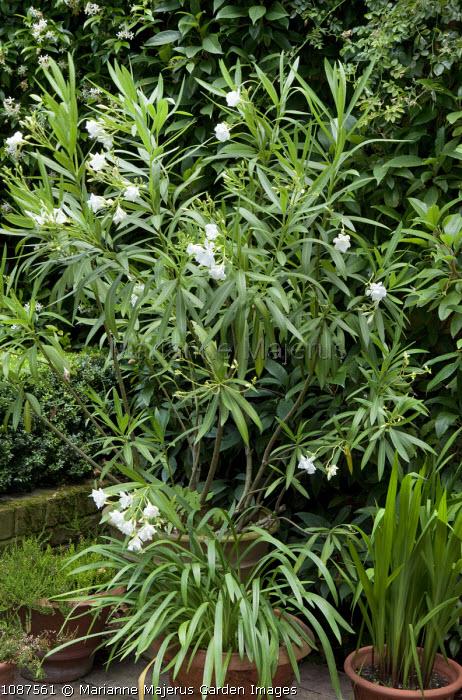 Nerium oleander in pot