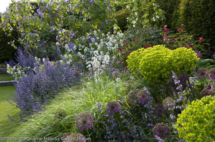 Rosa x odorata 'Mutabilis', Nepeta racemosa 'Walker's Low', Stipa calamagrostis, Abutilon x suntense, Hesperis matronalis alba, Allium hollandicum 'Purple Sensation', euphorbia