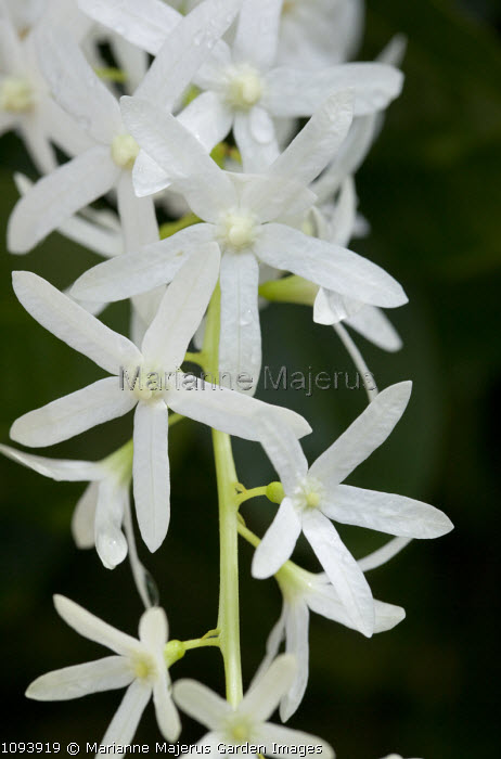 Petrea volubilis 'Albiflora'