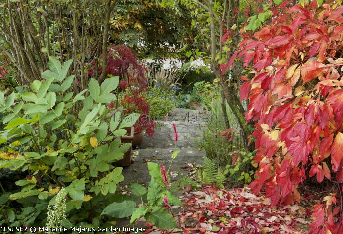 Path, Parthenocissus quinquefolia, acer in container, Juglans regia