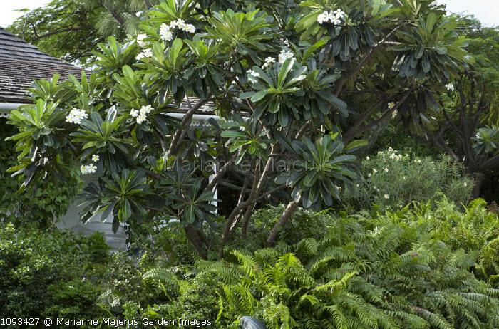 Nephrolepsis exaltata under Plumeria obtusa, Nerium oleander