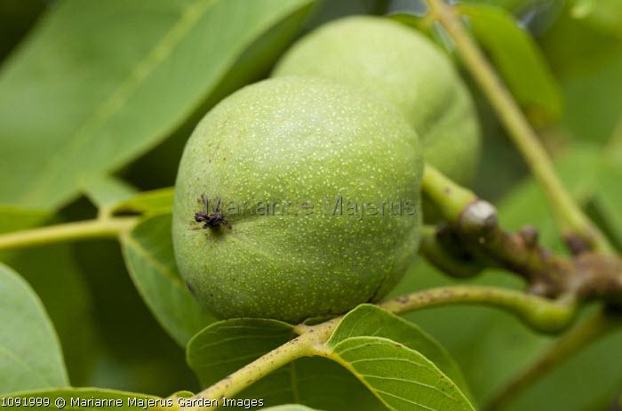Walnut in tree