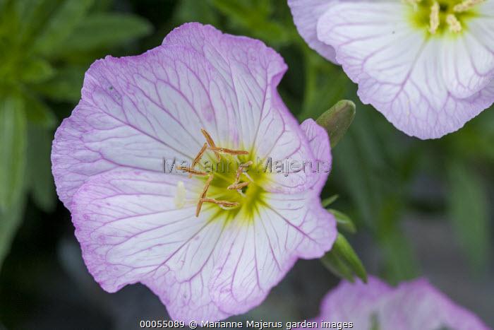 Oenothera berlinderi 'Siskiyou'