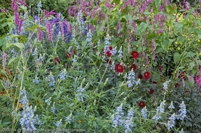 Salvia uliginosa, Persicaria orientalis, dahlia