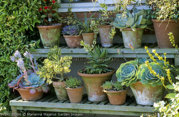 Collection of succulents in containers displayed on shelves, echeveria, crassula, sempevivum, aloe, euphorbia, cotelydon