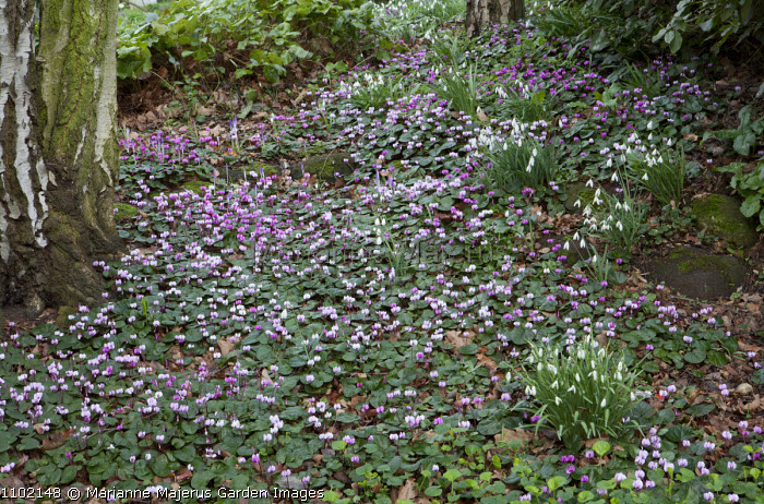 Drift of Cyclamen coum and snowdrops in woodland garden