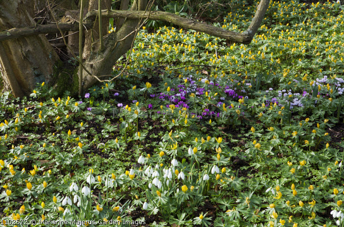 Naturalised drift of Eranthis hyemalis, snowdrops and Cyclamen coum