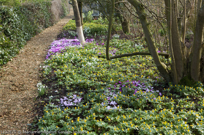 Naturalised drift of Cyclamen coum and Eranthis hyemalis, bark chippings path