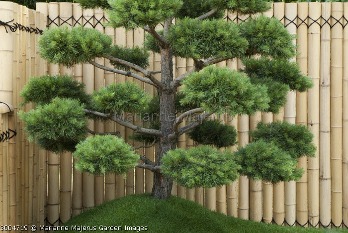Cloud-pruned pine against bamboo screen, niwaki