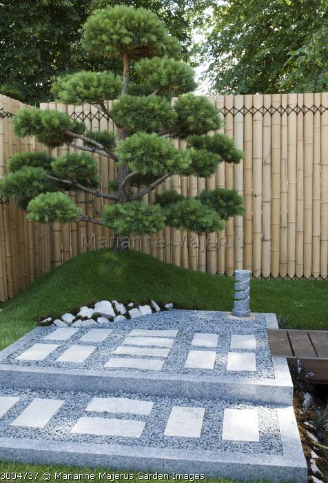 Cloud-pruned pine against bamboo screen, niwaki