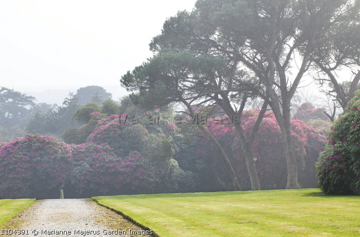 Pine trees silhouetted against rhododendrons
