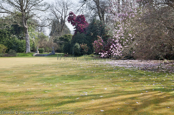 View across lawn to camellias and Magnolia campbellii