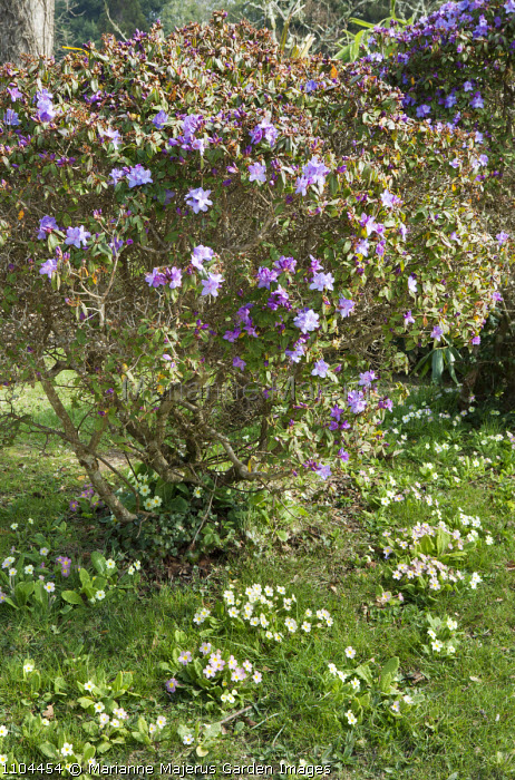 Rhododendron Blue Ribbon Group, primroses