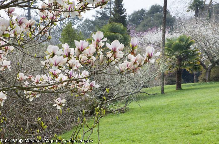 Magnolia blossom, Trachycarpus fortunei