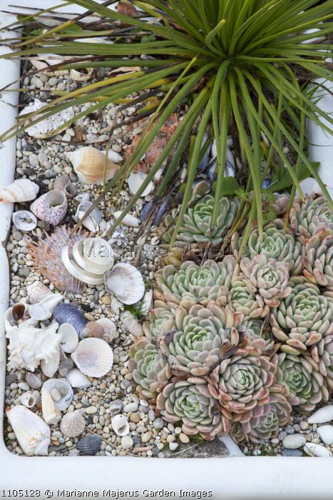 Echeveria in trough with shell mulch