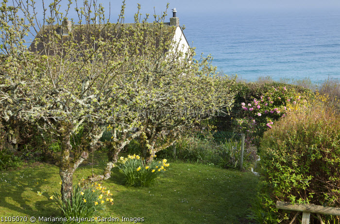 Orchard overlooking sea, daffodils, lichen-covered trees