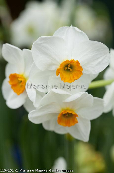 Narcissus 'Geranium'
