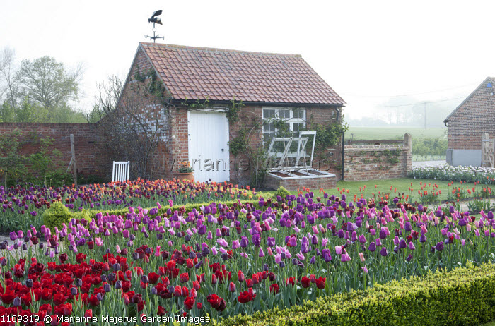 Drifts of colourful tulips, view to shed, cold frames