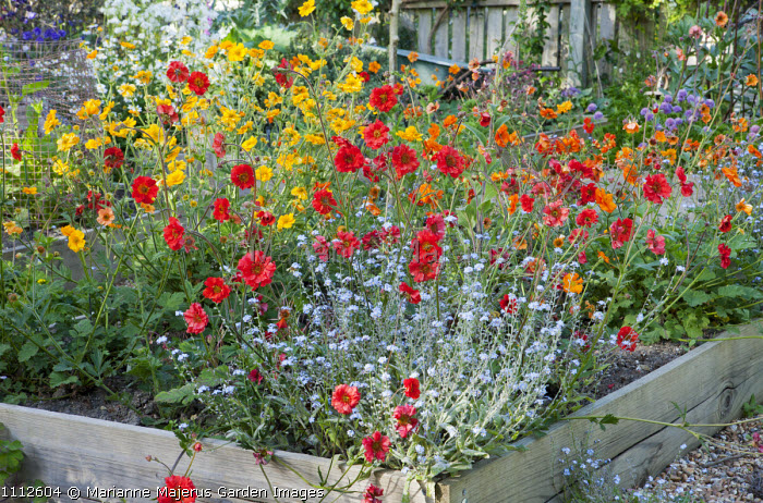 Geums in raised bed