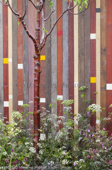 Recycled timber wall, Prunus serrula, Anthriscus sylvestris 'Ravenswing'