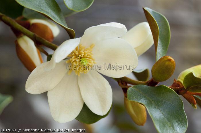 Michelia yunnanensis, syn. Magnolia laevifolia