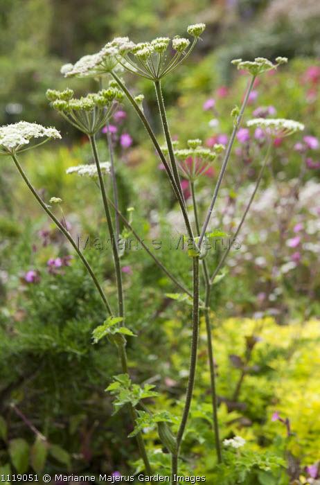 Selinum wallichianum syn. Selinum tenuifolium