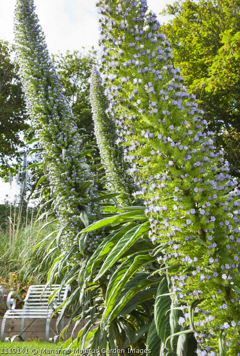 Echium pininana, bench