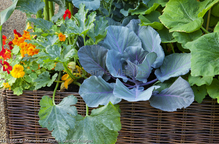 Cabbage, Courgette 'Soleil', nasturtiums in woven willow raised bed container, deep bed planting method