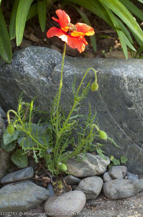 Poppy, pebbles