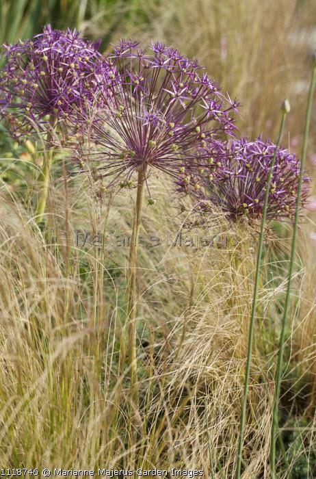 Allium cristophii, Stipa tenuissima